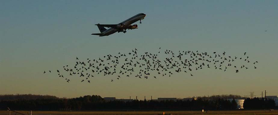 Black birds in the sky with a landing airplane.