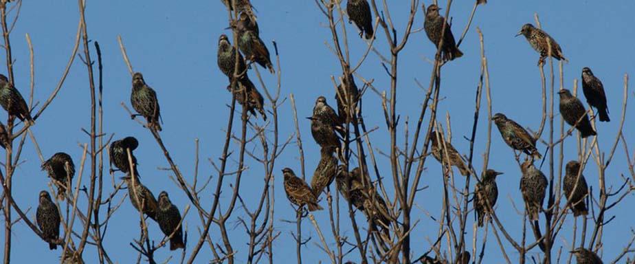 Black birds in a tree.