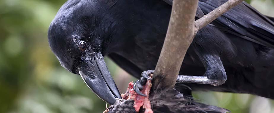 Raven eating.
