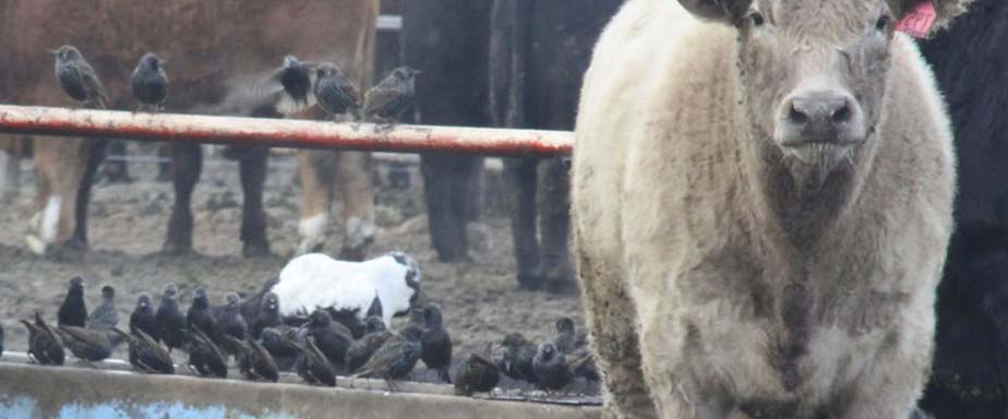 Starlings on a farm with cows.